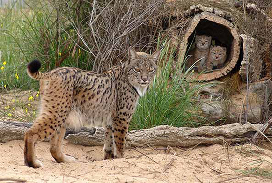 lince-madre
